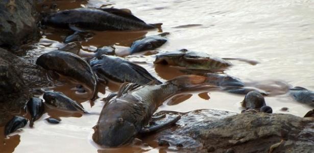 Poluição: 9 toneladas de peixes mortos nas margens do rio Doce