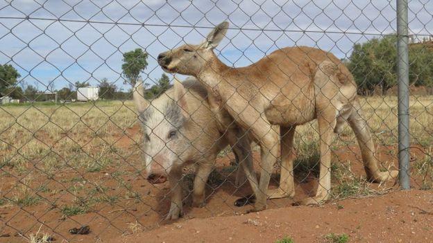 Como especialistas explicam curiosa relação entre canguru e porca