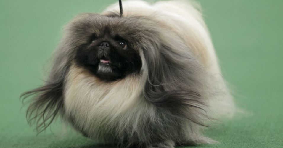 Cães no Westminster Kennel Club Dog Show 2017