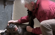 Chimpanzé doente 'reconhece' 1º cuidador e emociona a internet