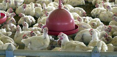 Arábia Saudita nega razões políticas para suspender compras de frango