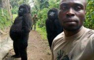 A história da selfie com Ndeze e Ndakasi, duas gorilas órfãs que posam com seu cuidador