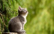 Austrália quer exterminar 2 milhões de gatos até 2020 usando petiscos envenenados