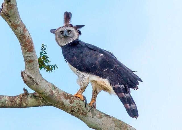 Maior águia do mundo, harpia já perdeu mais de 40% da sua área de habitat