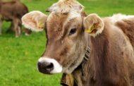 Ministério da Agricultura avalia caso atípico de vaca louca em MT