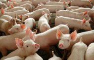 China autoriza importação de gordura de porco do Brasil