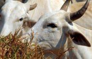 Ministério da Agricultura confirma caso de vaca louca no Mato Grosso