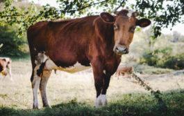 'Vaca louca': médicos dizem que pode haver casos em humanos